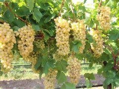 Yaş üzüm ihracatında Rusya bereketi