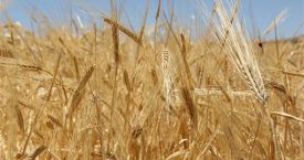 Hasat sezonunun ilk buğdayı GTB'de işlem gördü