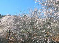 Araban'da Erken Çiçek Açan Bademler Üreticiyi Telaşlandırdı