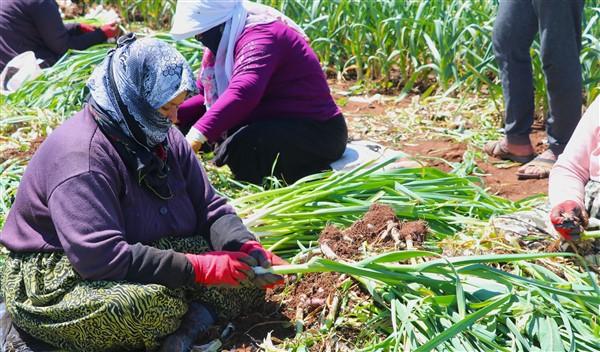 Tarım İşçilerinin Zorlu Mesaisi Başladı