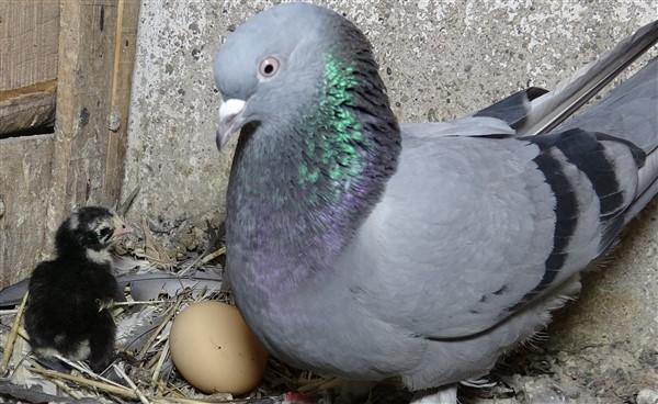 Kuluçka Görevi Gören Güvercinler Civcilere Annelik Yapıyor