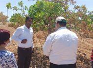 Fıstık ağaçlarının kuruma sorununa  Tarım Müdürlüğü el koydu